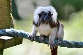 Portrait Of A Cotton Top Tamarin (saguinus Oedipus) Sitting On A Rope In  A Zoo poster