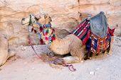 Постер, плакат: Бедуинов верблюд