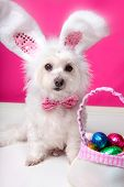 stock photo of bag-of-dog-food  - A dog wearing bunny ears sits beside a bag ful of delicious easter eggs - JPG