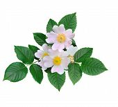 Pink Flowers Of Wild Rose Or Dog Rose, Rose Hip, Briar Or Brier (canina Rosa) With Leaves Isolated O poster