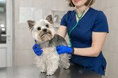Beautiful Doctor Vet Small Cute Dog Breed Yorkshire Terrier With A Stethoscope In A Veterinary Clini poster