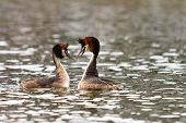 stock photo of great crested grebe  - great crested grebe courting in the water - JPG