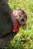 stock photo of gobbler  - Wild turkey male gobbler Meleagris gallopavo in a forest meadow - JPG