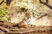 Wild Bengal Tiger (panthera Tigris Tigris) Having Rest During Hot Day In Its Natural Habitat.rantham poster