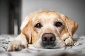 Portrait Beautiful Yellow Labrador Retriever. Labrador At Home. Labrador On The Bed. poster