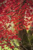 Stunning Colorful Vibrant Red And Yellow Japanese Maple Trees In Autumn Fall Forest Woodland Landsca poster