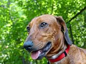 Dachshund (him. Dachshund) -- Hunting Dog Breed, Characterized By Short Legs. Dachshund - The Oldest poster
