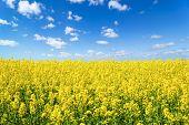 Landscape View Of Flowering Rape Field Under Blue Cloudy Sky. Colorful Rapsfield Raps. Swedish Ukrai poster