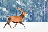 Fantastic Artistic Winter Christmas Wildlife Image. Deer Running In Snow Against Winter Forest. Wild poster