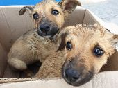 Two Stray Puppy In A Cardboard Box. Close-up poster