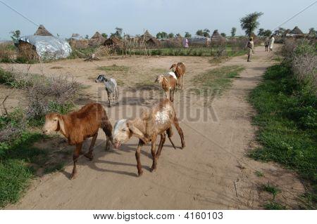 Sheep In Darfur