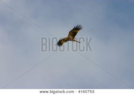An Australian Whistling Kite