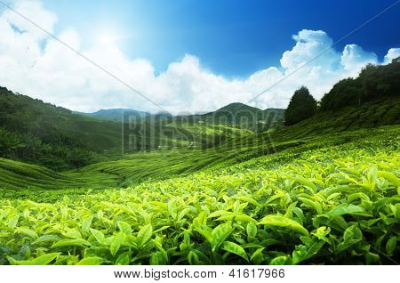 Teeplantage Cameron Highlands, Malaysia
