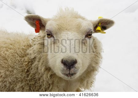 Young sheep on a winter day