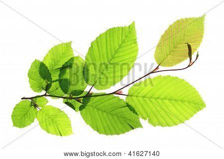 Twig of a hornbeam tree (Carpinus betulus)