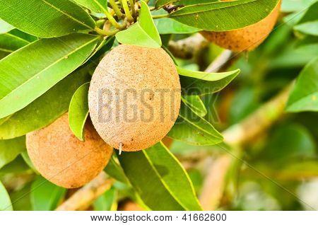 Sapodilla Fruit On The Tree
