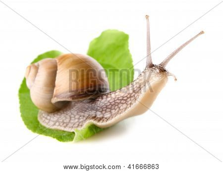 Garden Snail (helix Aspersa) On Green Leaf