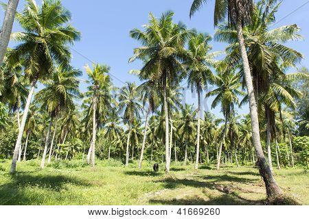 Palm plantation on the island of La Digue