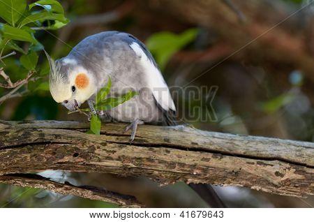 Cockatiel Eating A Leaf On A Branch