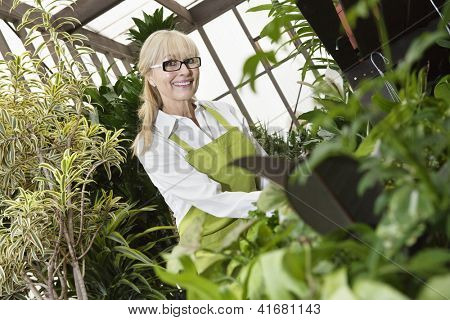 Portrait of a happy middle-aged gardener cultivating plants in greenhouse