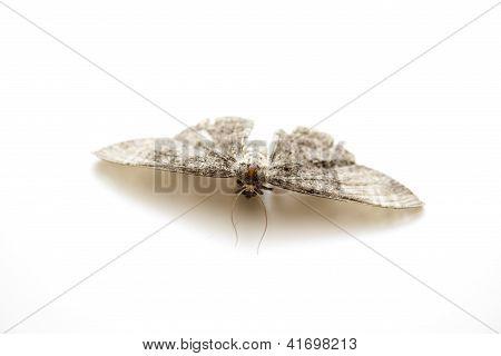 Dangerous moth on white background