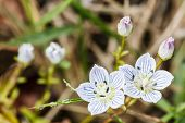 picture of edelweiss  - Close - JPG