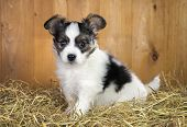 foto of epagneul  - Papillon puppy sitting on a straw on a background of wooden boards - JPG