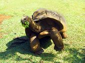 picture of mauritius  - Giant turtle eats green food in Mauritius - JPG