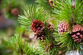 stock photo of pine-needle  - Pine cone and tree branch during winter - JPG