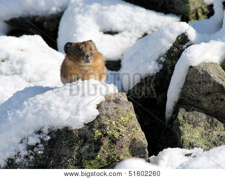 American Pika in the Snow