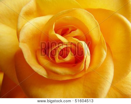 Close-up of centre of beautiful yellow rose