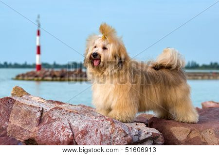 Cute Havanese Dog Is Standing In A Harbor, Looking Into The Distance