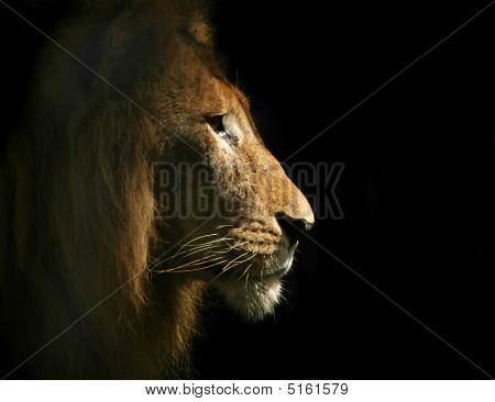 Lion Side Portrait