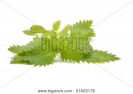 A detail of nettle leaves on white background