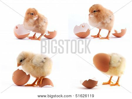 The Set Of Yellow Small Chicks With Egg