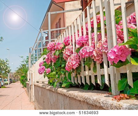 Hydrangeas By The Street