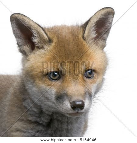Close-up Of A Red Fox Cub's Head (6 Weeks Old)- Vulpes Vulpes