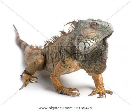 Green Iguana - Iguana Iguana (6 Years Old)