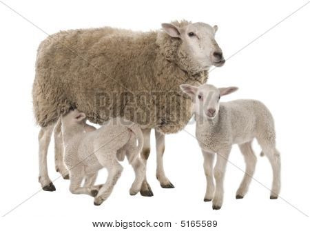 A Ewe With Her Two Lambs, One Is Suckling
