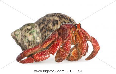 Hermit Crab - Coenobita Perlatus