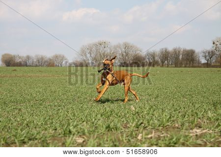 Boxer dog on the field