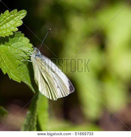 Small White (Pieris Rapae), Sweden