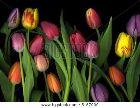 Painted Tulips