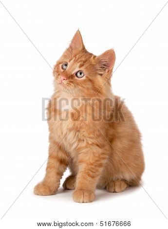 Cute Orange Kitten Looking Up On A White Background.