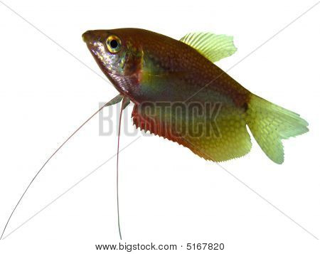 Pearl Gurami Trichogaster Leeri The Beautiful Aquarian Fish