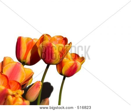 Orange And Yelow Tulips Cutout