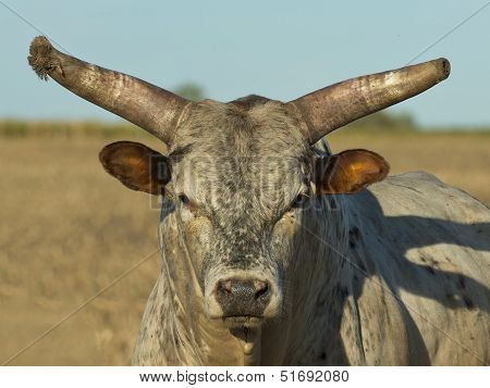 Large Horned Bull