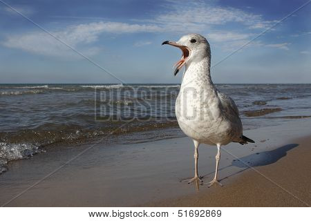 Ring-billed Gull Calling On Lake Huron Beach