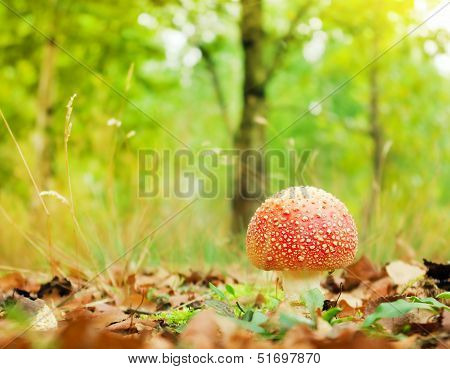 Amanita Muscaria In The Grass