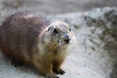 pic of wild hog  - Ground hog - JPG